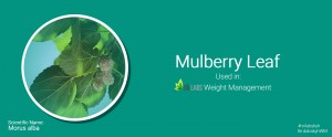 Role of Mulberry Leaves in weight management